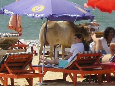 vaca-sagrada-em-goa-4