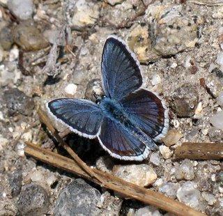 borboleta orfã-4
