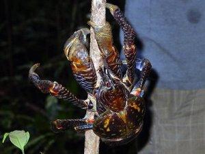 caranguejo gigante