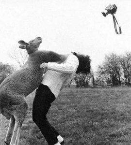 canguru-batendo