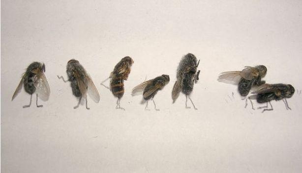 dead_flies_15