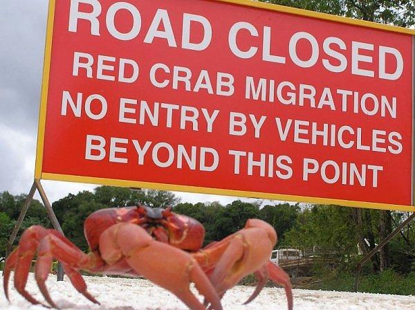 migração dos caranguejos (1)