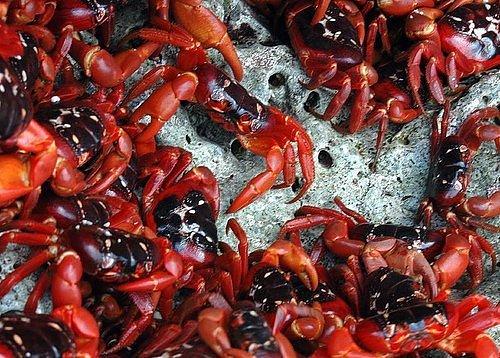 migração dos caranguejos (3)