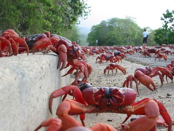 migração dos caranguejos (6)