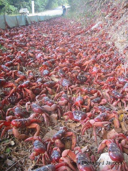migração dos caranguejos (7)