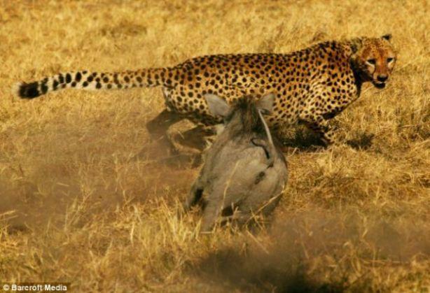 warthog_vs_cheetahs_02