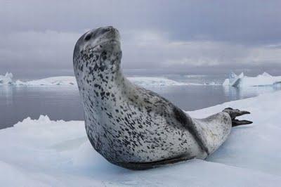 leopard_seals_01