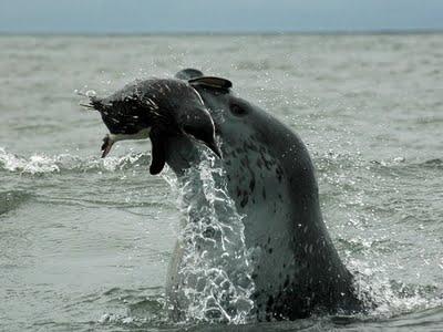 leopard_seals_02