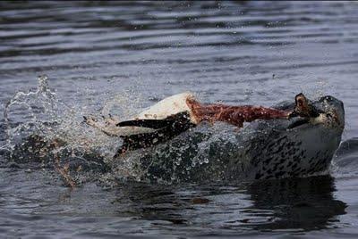 leopard_seals_12