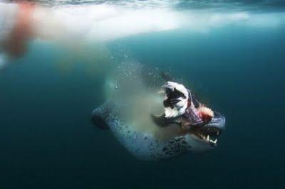 leopard_seals_13