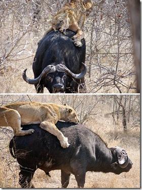 a96952_a589_1-lioness-buffallo