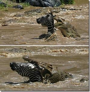 a96952_a589_5-zebra-alligator