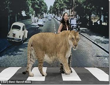 Hercules_biggest_liger_03
