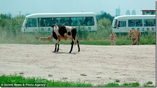 live_cow_fed_to_tigers_china_02