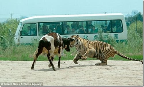 live_cow_fed_to_tigers_china_03