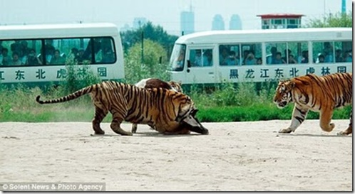 live_cow_fed_to_tigers_china_04