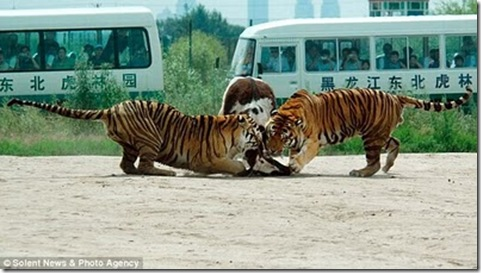 live_cow_fed_to_tigers_china_06