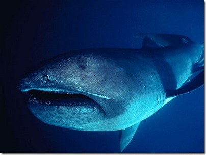 megamouth-shark-01