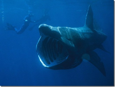 megamouth-shark-02