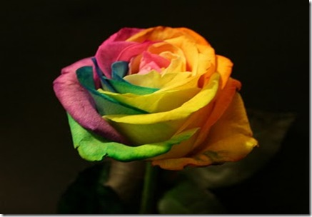 Rainbow-roses3