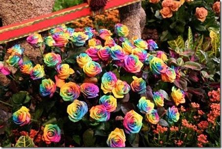 Rainbow-roses7