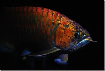 Red-Dragon-Fish-01