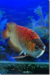 Red-Dragon-Fish-02