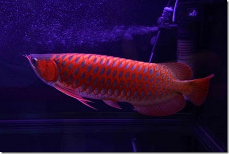Red-Dragon-Fish-03