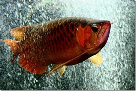 Red-Dragon-Fish-04