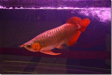 Red-Dragon-Fish-06