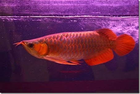 Red-Dragon-Fish-07