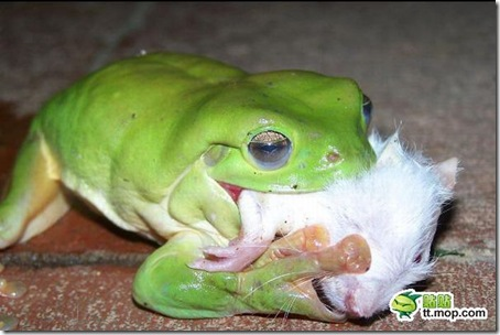 this_cute_frog_is_very_dangerous_predator_04