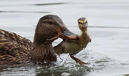 Bossy_Duck_01