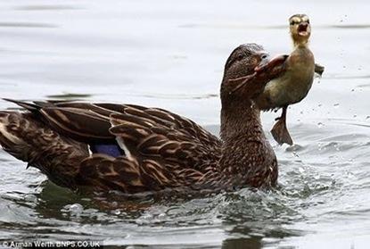 Bossy_Duck_04