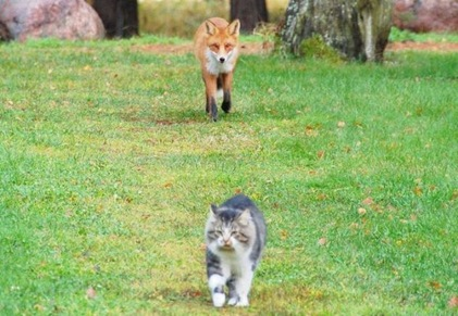 fox_vs_cat_01
