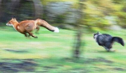 fox_vs_cat_02